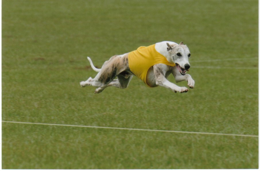Is Lure Coursing Good For Dogs